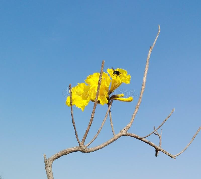 Fiori gialli con l'insetto di volo immagini stock libere da diritti