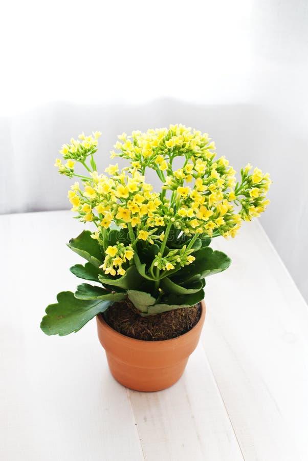 Fiori gialli conservati in vaso del kolanhoe fotografie stock