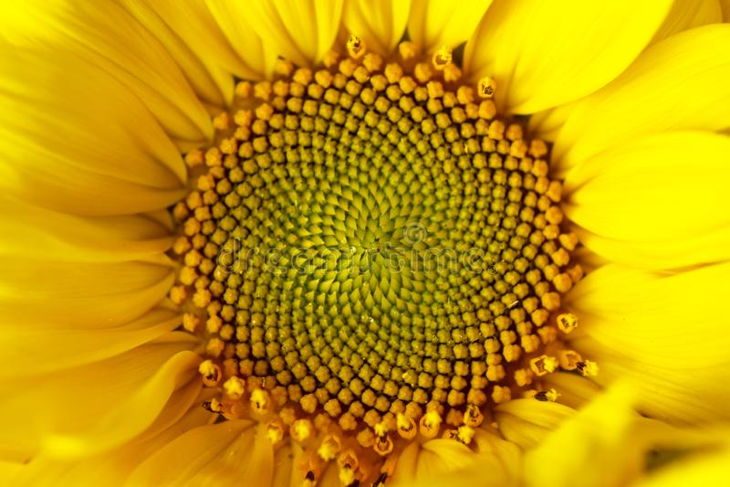 Fiori gialli del bello polline caldo di un primo piano non maturo del girasole, vista superiore, estate, fondo per una cartolina  fotografia stock
