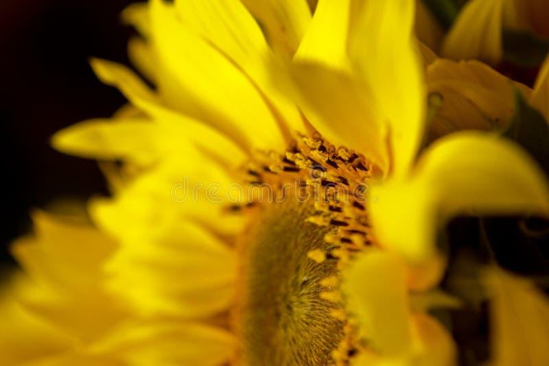 Fiori gialli del bello polline caldo di un primo piano non maturo del girasole, vista superiore, estate, fondo per una cartolina  immagine stock