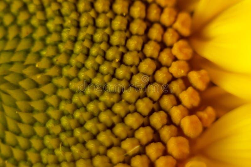 Fiori gialli del bello polline caldo di un primo piano non maturo del girasole, vista superiore, estate, fondo per una cartolina  fotografie stock