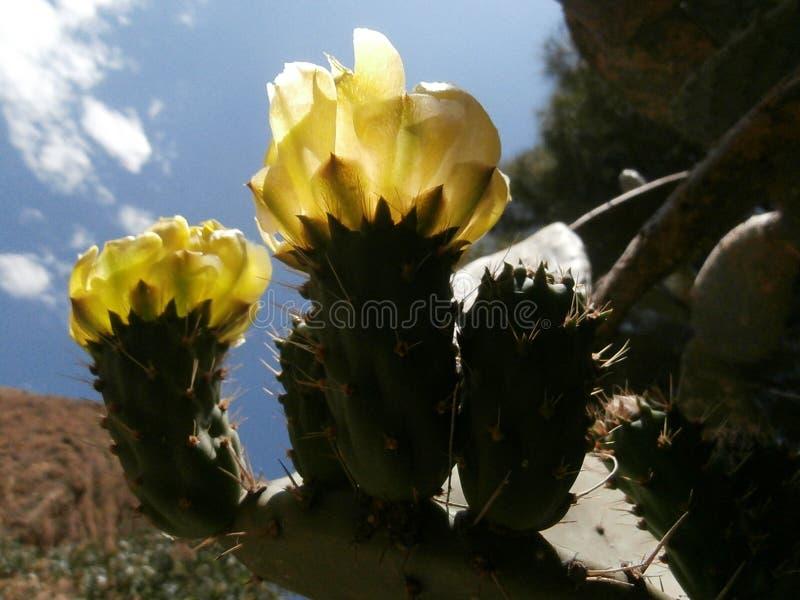 Fiori gialli del cactus fotografie stock