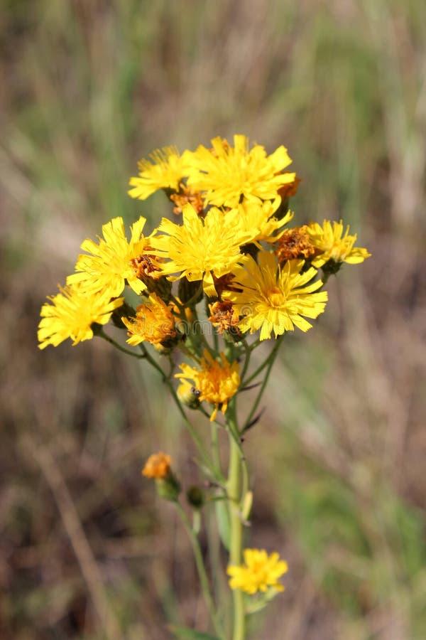 Fiori gialli del Crepis fotografie stock libere da diritti