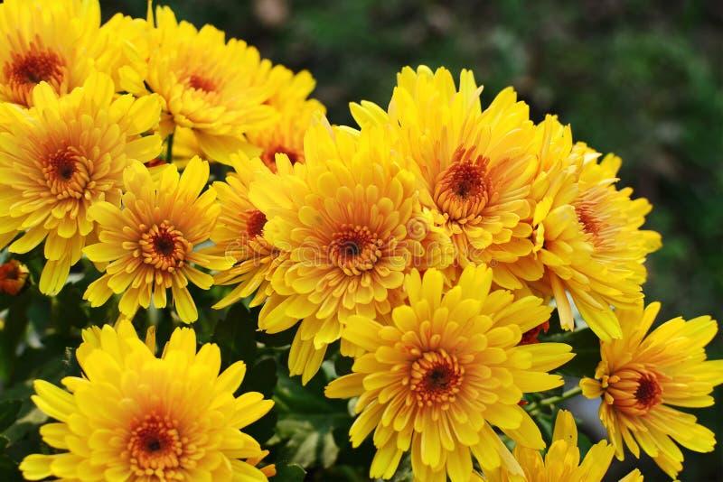 Fiori gialli del crisantemo fotografie stock