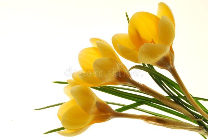 Fiori gialli del croco fotografia stock