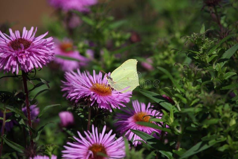 Fiori gialli del giardino della farfalla di estate fotografia stock libera da diritti