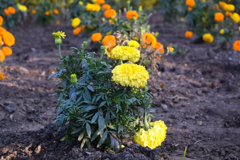 Fiori gialli del tagete fotografie stock
