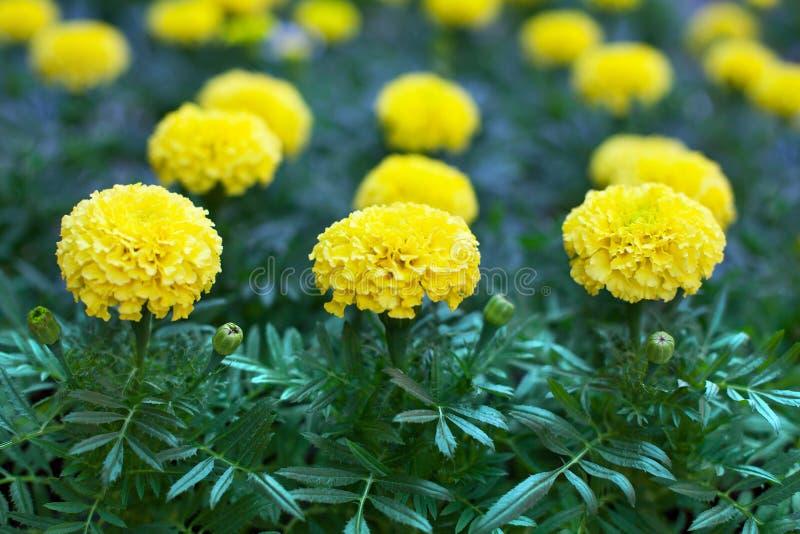 Fiori gialli del tagete sulla fine del fondo vaga fogliame verde su, bei fiori di fioritura di tagetes o tagete africano fotografie stock
