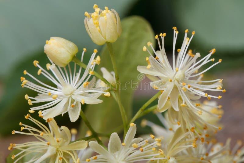 Fiori gialli del tiglio con i germogli macro immagini stock
