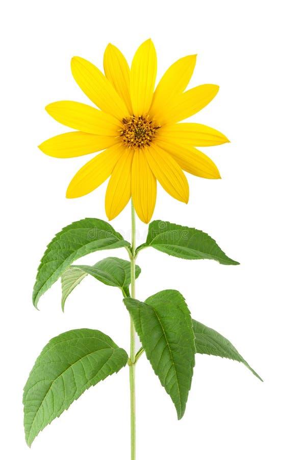 Fiori gialli del topinambur immagine stock