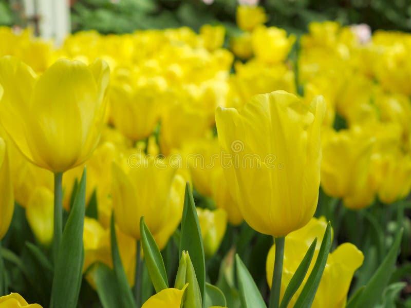 Fiori gialli del tulipano nel giardino del tulipano immagine stock