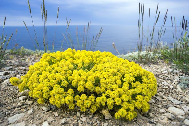 fiori gialli dell 39 alyssum dell 39 arbusto fotografia stock