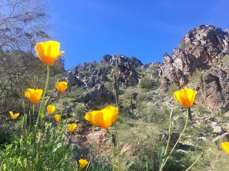 Fiori gialli dell'Arizona fotografie stock libere da diritti