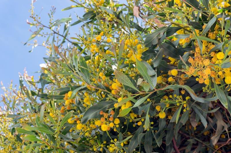 Fiori gialli della famiglia di Cyanopylla Legumosae dell'acacia dell'albero della mimosa in primavera Tenerife, Isole Canarie fotografia stock libera da diritti