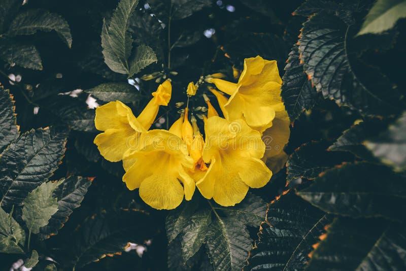 Fiori gialli della vite di tromba fotografia stock