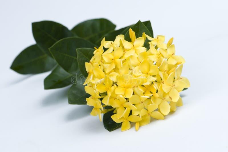 Fiori gialli di coccinea di Ixora immagini stock