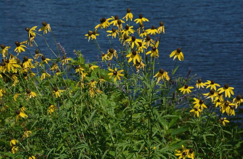 Fiori gialli di Coneflower e fogliame verde immagine stock libera da diritti