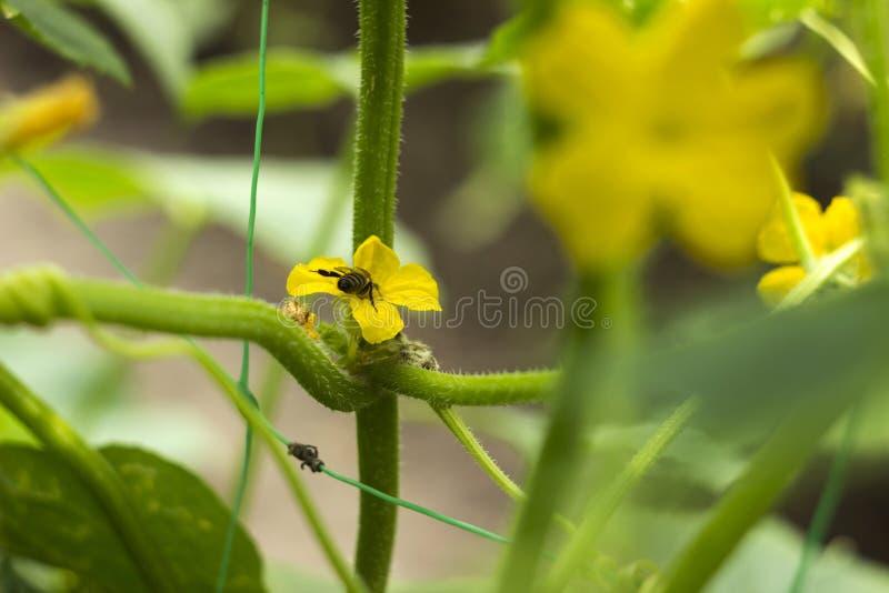 Fiori gialli di fioritura del cetriolo con un'ape nel giardino Piccoli e cetrioli freschi di verdure delle fioriture, fondo agric fotografia stock