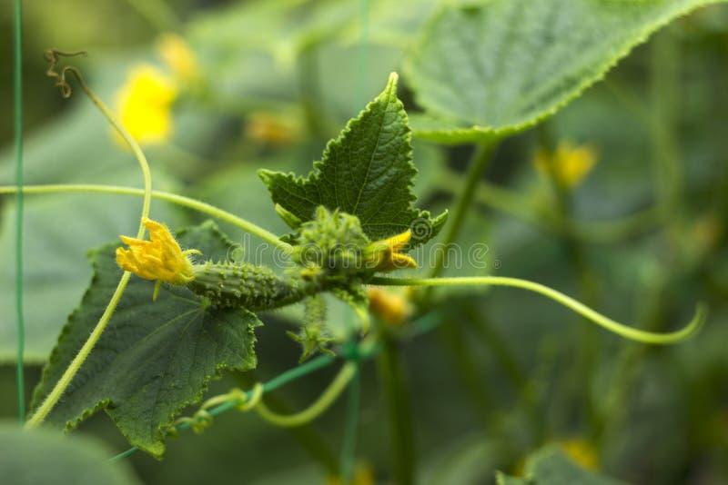 Fiori gialli di fioritura del cetriolo nel giardino Piccoli e cetrioli freschi di verdure delle fioriture, fondo agricoltura fotografia stock