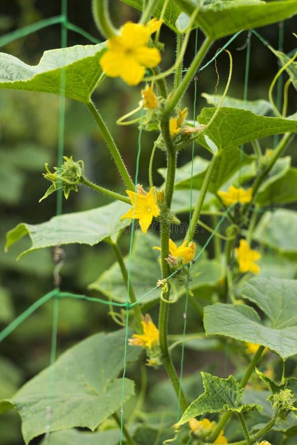 Fiori gialli di fioritura del cetriolo nel giardino Piccoli e cetrioli freschi di verdure delle fioriture, fondo agricoltura immagine stock libera da diritti