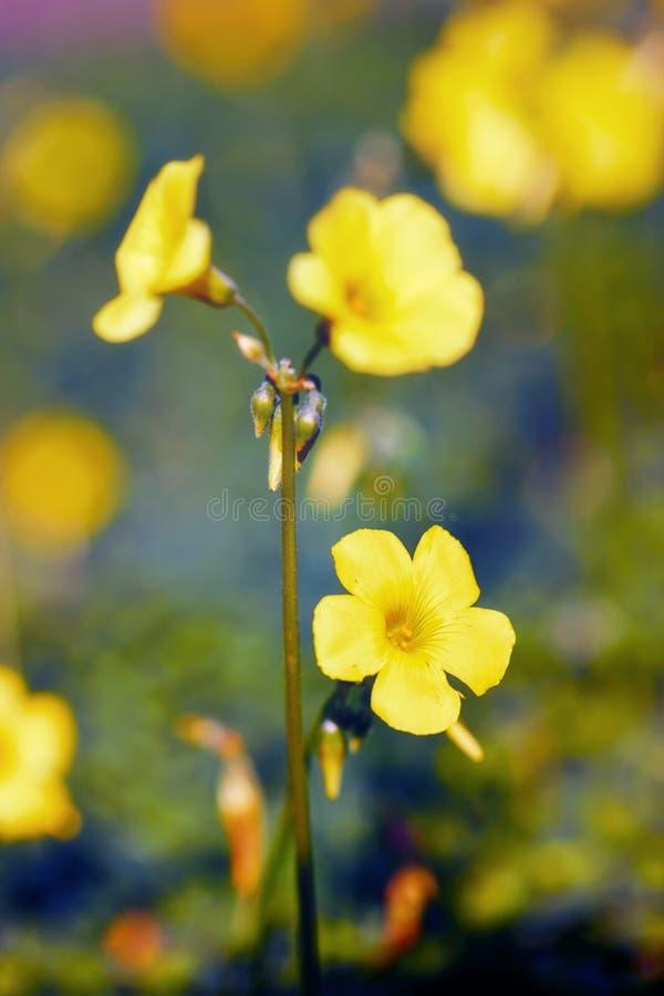 Fiori gialli di jessamine nella regione selvaggia fotografia stock libera da diritti