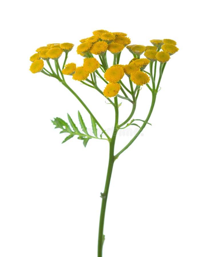 Fiori gialli di tanacetum vulgare del tanaceto isolati su bianco fotografie stock
