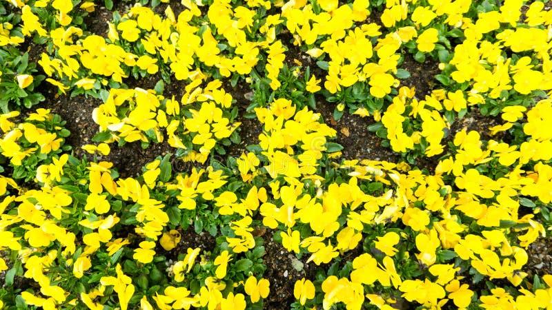 Fiori gialli di viole del pensiero in giardino immagini stock