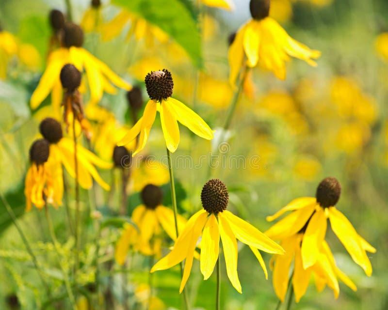 Fiori gialli dorati di Rudbeckia fotografia stock libera da diritti