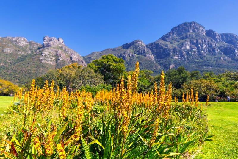 Fiori gialli e belle montagne nei precedenti nel giardino botanico di Kirstenbosch immagini stock libere da diritti