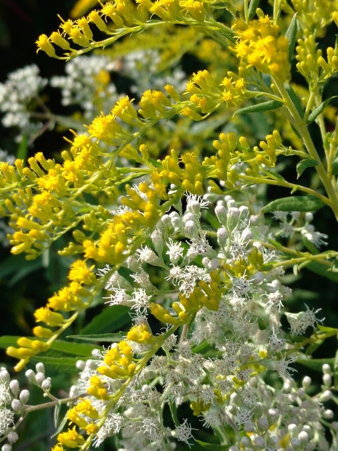 Fiori gialli e bianchi immagine stock