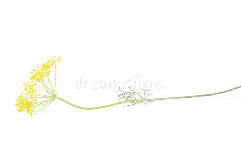 Fiori gialli freschi dell'aneto isolati su bianco fotografie stock
