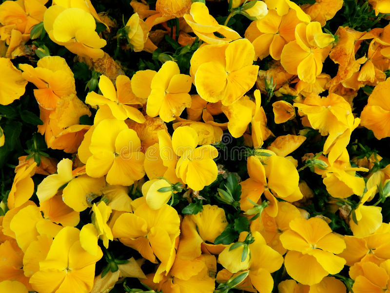 Fiori gialli luminosi fotografie stock