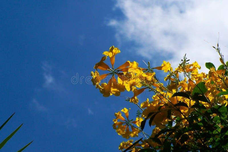 Fiori gialli luminosi di un albero di Palo Verde contro il blu profondo dei cieli di estate del New Mexico immagini stock