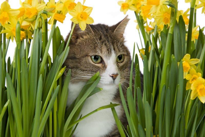 Fiori gialli medii del gatto
