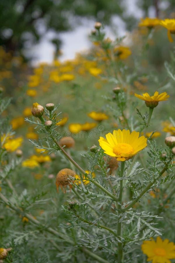 Fiori gialli nel campo fotografie stock libere da diritti