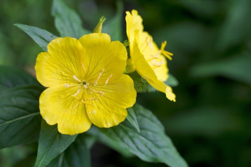 Fiori gialli nel giardino fotografia stock libera da diritti