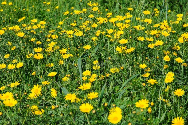 Fiori Gialli In Primavera.Fiori Gialli Nel Prato Di Fioritura Di Primavera Immagine Stock