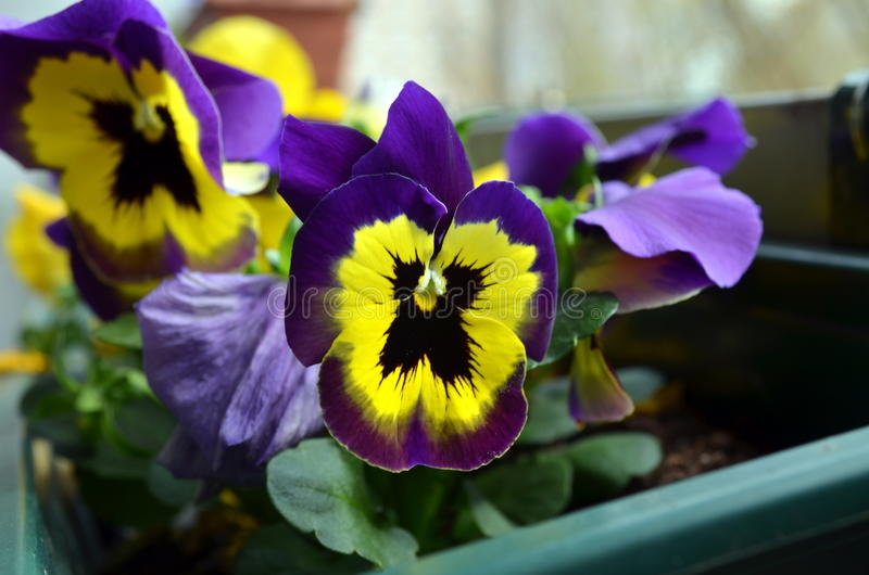 Fiori gialli porpora e bianchi della pansé immagini stock