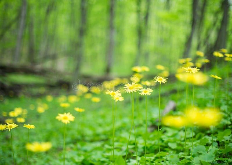 Fiori gialli selvaggi su fondo vago fotografie stock libere da diritti