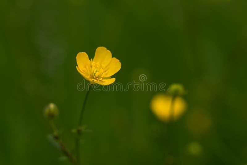 Fiori gialli selvaggi sul prato verde fotografia stock