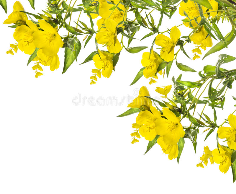 Fiori gialli, struttura d'angolo, isolata su bianco fotografia stock