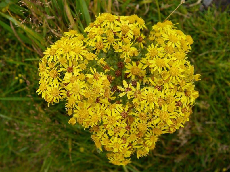 Fiori gialli su erba più scura immagini stock