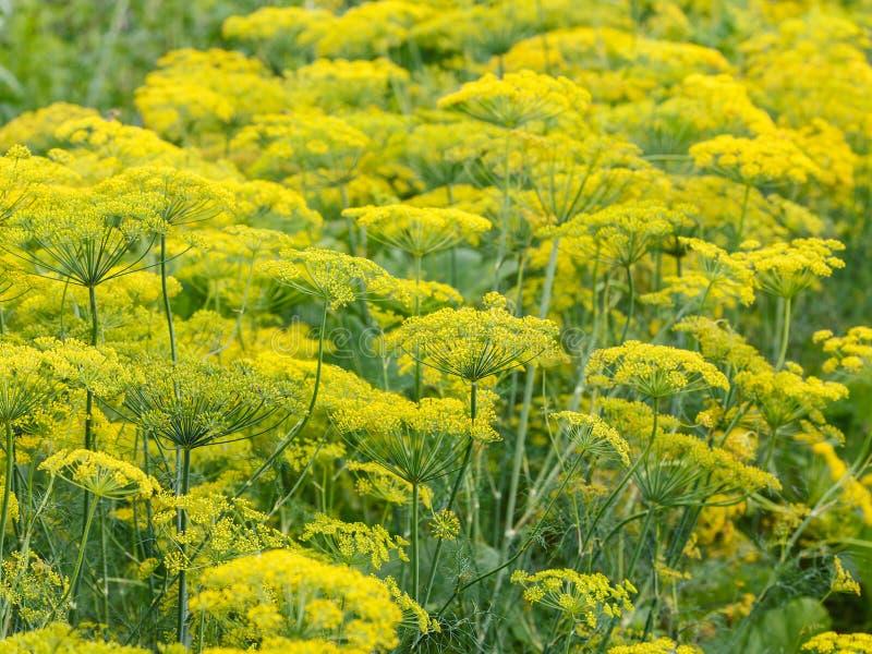 Fiori gialli sull'erba di fioritura dell'aneto immagini stock libere da diritti