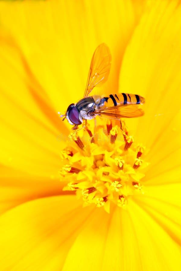 Fiori gialli sulla mosca dell'afide immagine stock libera da diritti