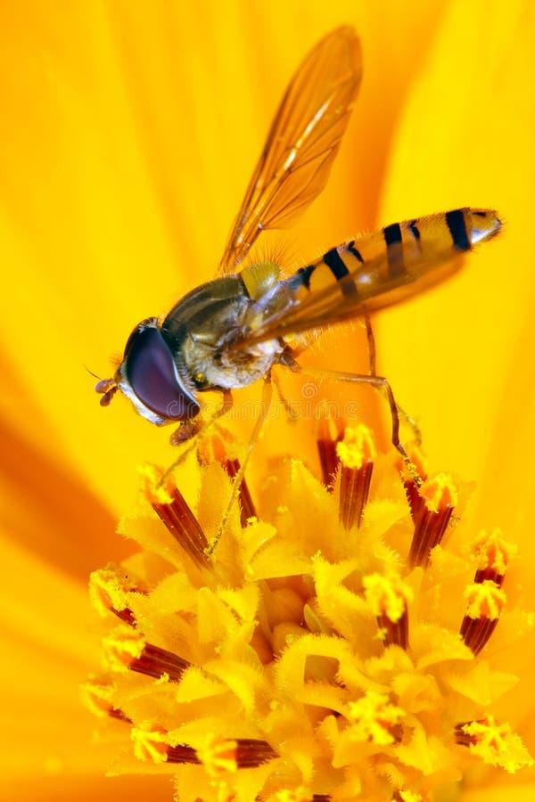 Fiori gialli sulla mosca dell'afide fotografia stock libera da diritti