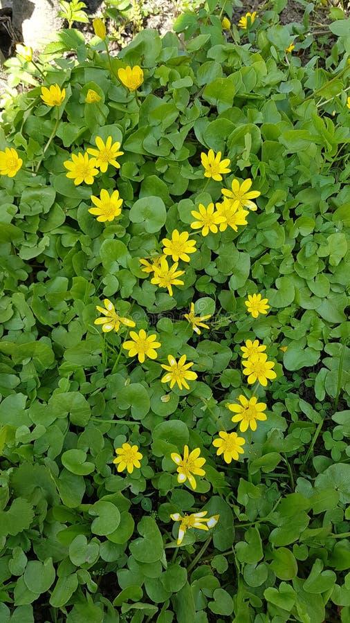 Fiori gialli sulle foglie verdi immagini stock libere da diritti
