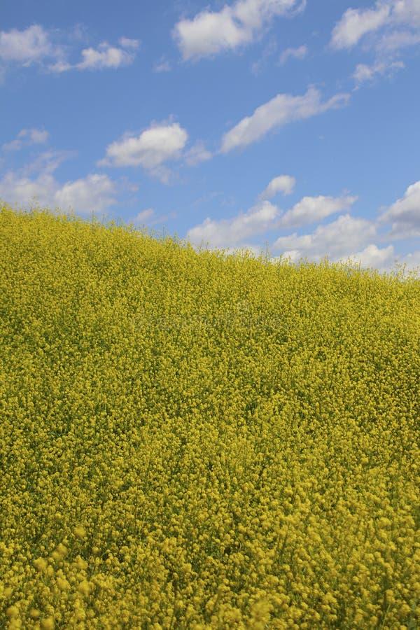 Fiori gialli in una vista con cielo blu e le nuvole bianche fotografia stock