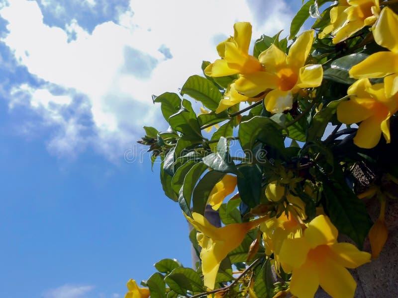 Fiori gialli vibranti di fioritura del Allamanda fotografia stock