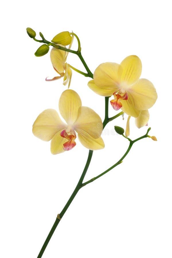 Fiori giallo-chiaro dell'orchidea isolati su bianco fotografie stock