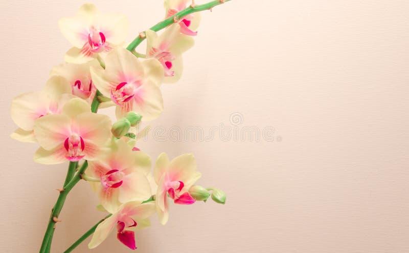 Fiori giallo-chiaro dell'orchidea su fondo arancione-chiaro immagini stock
